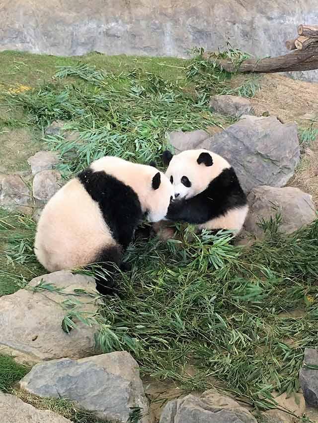 ガラス越しではなく、間近にみられるパンダ