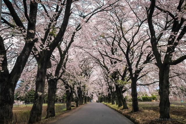 八ヶ岳の桜