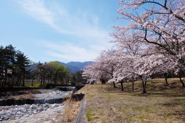 神宮川の桜並木
