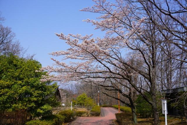須玉ふるさと公園の桜