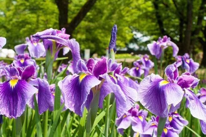 うつむき加減に咲く花は乙女の風情そのものひめさゆり 公式